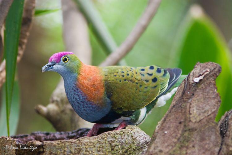 Fruit dove Superb FruitDove BIRDS in BACKYARDS