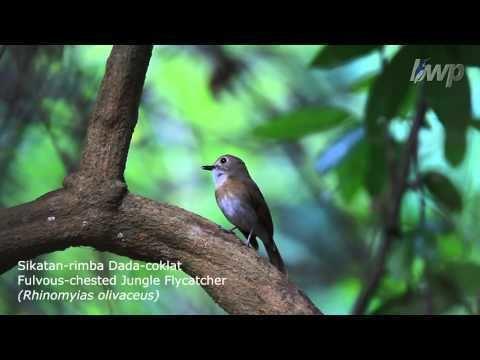 Fulvous-chested jungle flycatcher httpsiytimgcomvi4TMoevWSYyYhqdefaultjpg