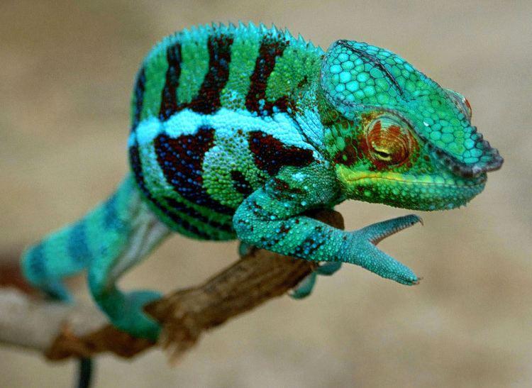 Furcifer Panther Chameleon Furcifer pardalis Found near near a sc Flickr
