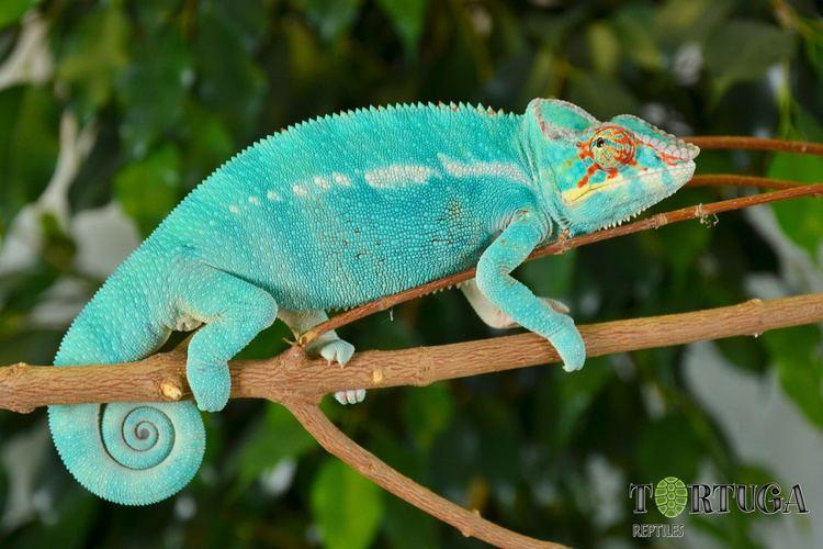 Furcifer AnimalsFurcifer pardalisNosy beVitalian Tortuga reptiles