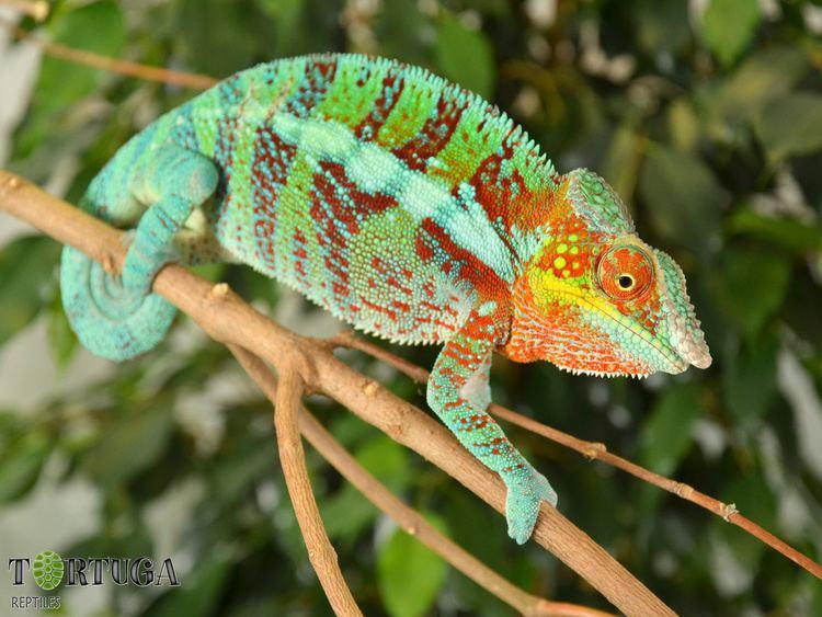 Furcifer AnimalsFurcifer pardalisAmbanjaBonapart Tortuga reptiles