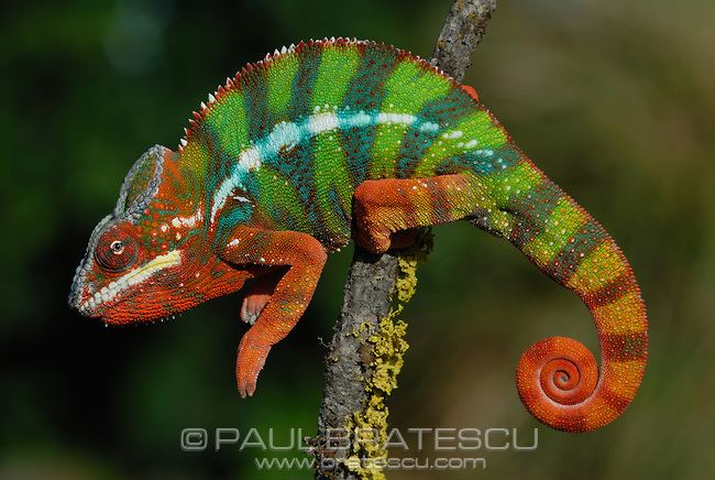 Furcifer Panther Chameleon Furcifer pardalis Paul Bratescu