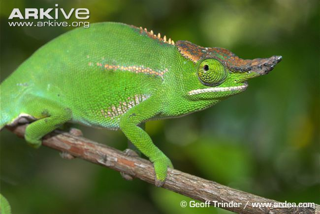 Furcifer Will39s chameleon videos photos and facts Furcifer willsii ARKive