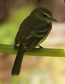Fuscous flycatcher httpsuploadwikimediaorgwikipediacommonsthu