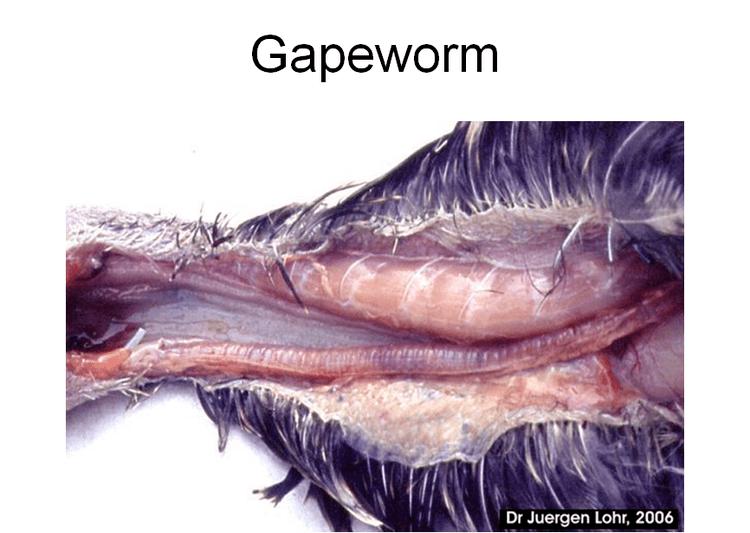 Red Gapeworm