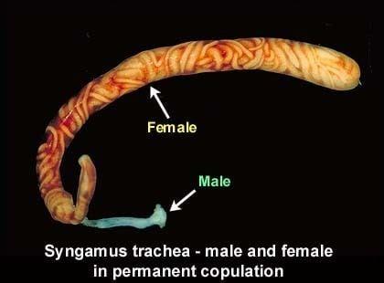 Syngamus trachea - male and female in permanent copulation