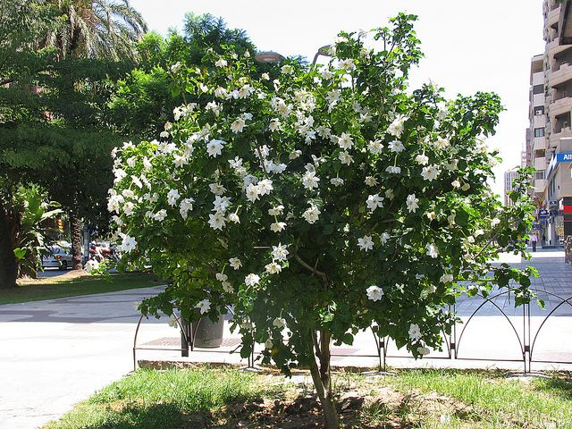 Gardenia thunbergia - Alchetron, The Free Social Encyclopedia