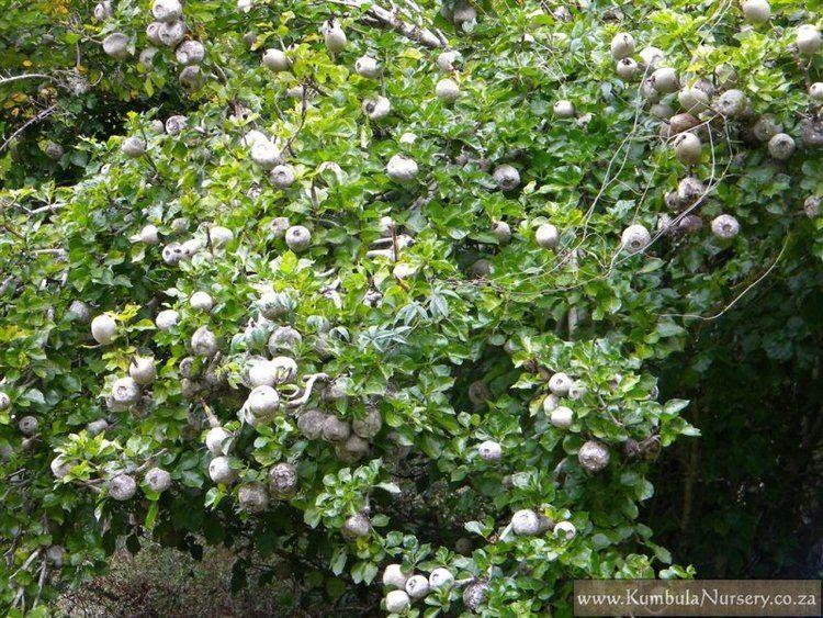 Gardenia Thunbergia Alchetron The