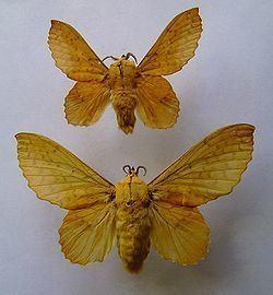 Gastropacha populifolia httpsuploadwikimediaorgwikipediacommonsthu
