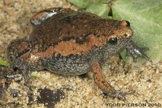 Gastrophryne Gastrophryne carolinensis Eastern Narrowmouth Toad Discover Life