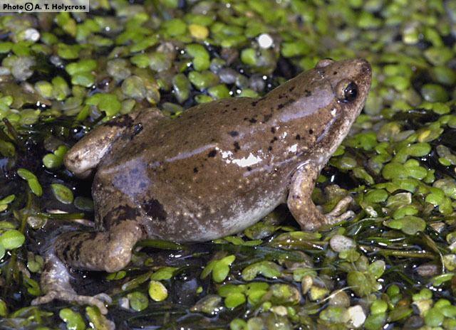 Gastrophryne Western Narrowmouthed Toad Gastrophryne olivacea Amphibians of