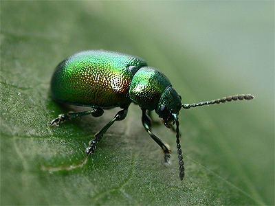 Gastrophysa viridula Gastrophysa viridula Green dock beetle Chrysomela viridula