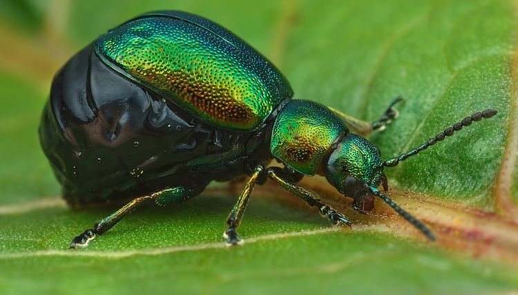 Gastrophysa viridula Gastrophysa viridula Female A female Green Dock Beetle Flickr