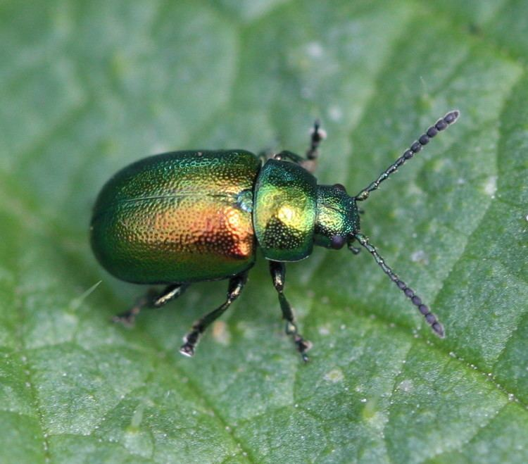 Gastrophysa viridula Green Dock Beetle Gastrophysa viridula NatureSpot