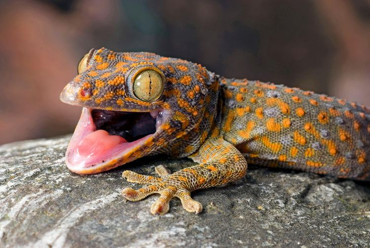 Gecko How the International Trade in Geckos Is a Scam