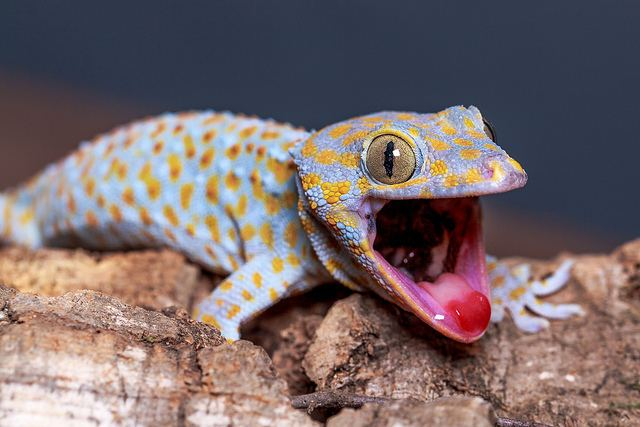 Gecko The Amazing Gecko 20 Interesting Facts about the World39s Most