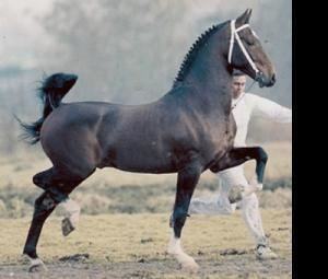 Gelderland horse Horse Breed Gelderland Horse Facts About Horses
