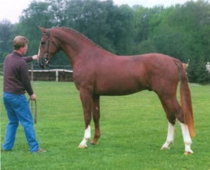 Gelderland horse Revolution in horse breeding