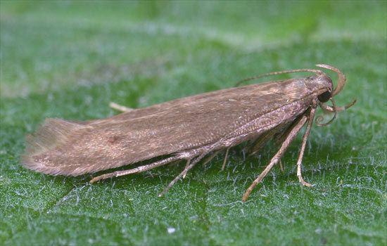 Gelechiidae Gelechiidae Monochroa lutulentella