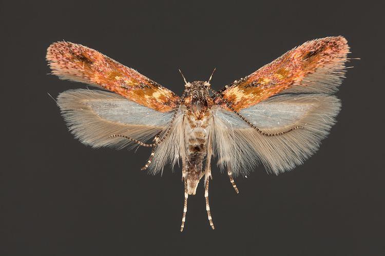 Gelechiidae Grinter Gelechiidae undetermined The Skeptical Moth