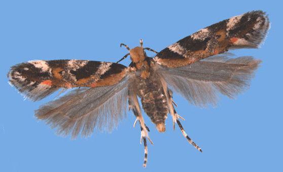 Gelechiidae Gelechiidae by Sangmi Lee