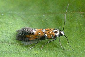 Gelechiidae httpsuploadwikimediaorgwikipediacommonsthu