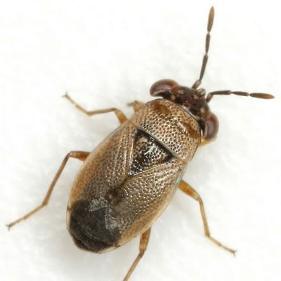Geocoris Geocoris BugGuideNet