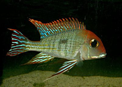 Geophagus Geophagus sp Rio Tapajos Red Cap An Unclaimed Amazon Jewel
