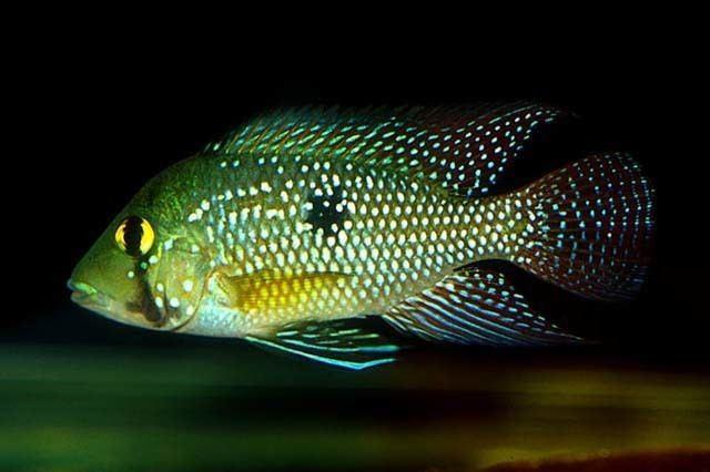 Geophagus Fish Identification