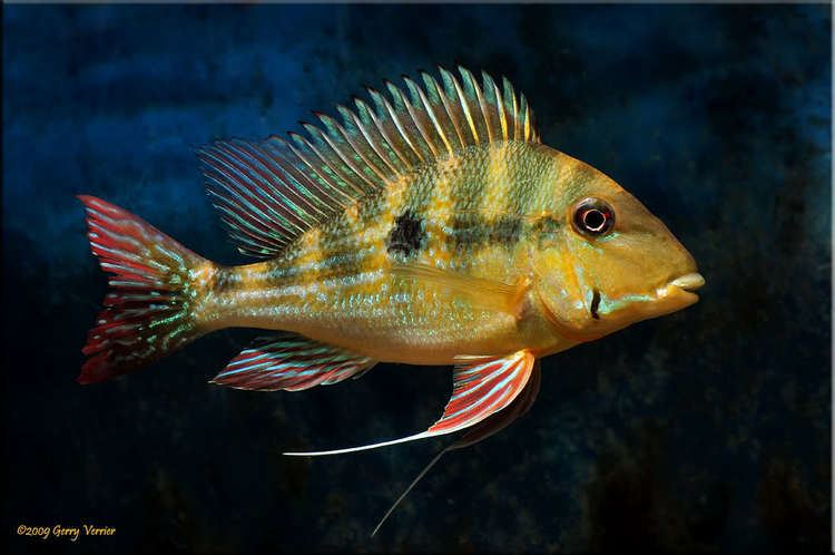 Geophagus Geophagus dicrozoster Seriously Fish