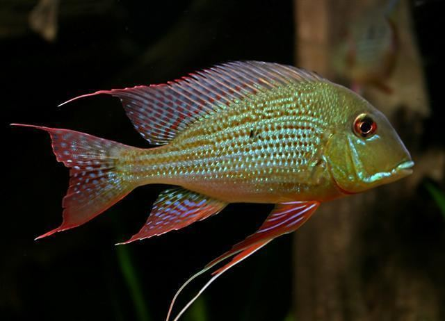 Geophagus altifrons Geophagus Altifronspopularityavailability General