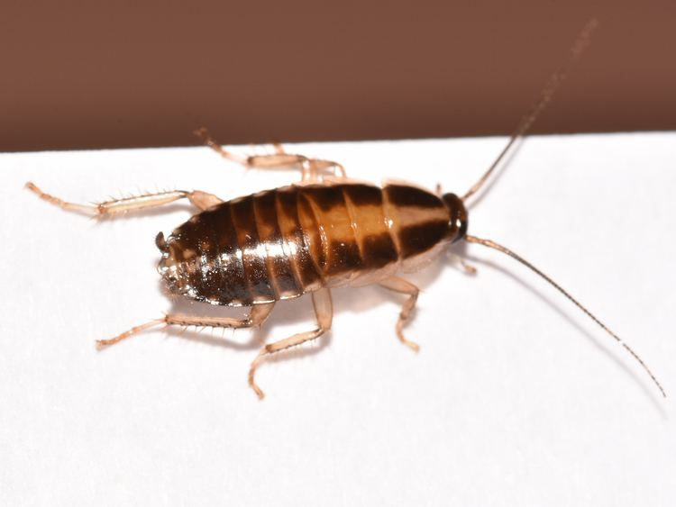German cockroach German Cockroaches Photos amp Control Information