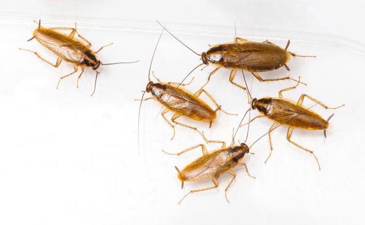 German cockroach German Cockroaches Economy Exterminators