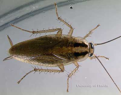 German cockroach German cockroach Blattella germanica Linnaeus