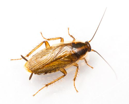 German cockroach 5 Signs of a German Roach Infestation and How to Get Rid of Them