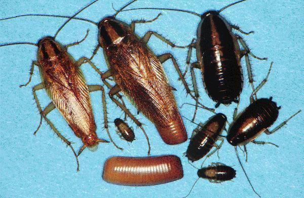 German cockroach German Roach Control Get Rid Of German Roaches