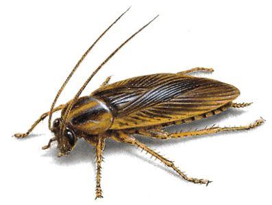 German cockroach cdnorkincomimagescockroachesgermancockroach