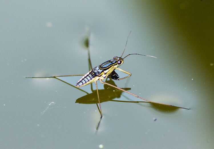 Gerridae Water strider Hemiptera Gerridae Justintimett Flickr
