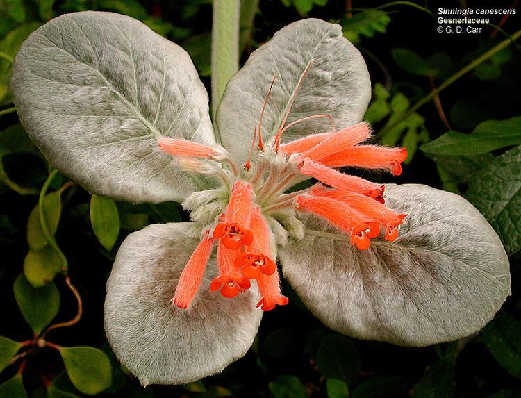 Gesneriaceae Flowering Plant Families UH Botany