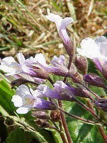 Gesneriaceae httpsuploadwikimediaorgwikipediacommonsthu