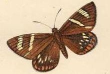 Geyeria hubneri httpsuploadwikimediaorgwikipediacommonsthu