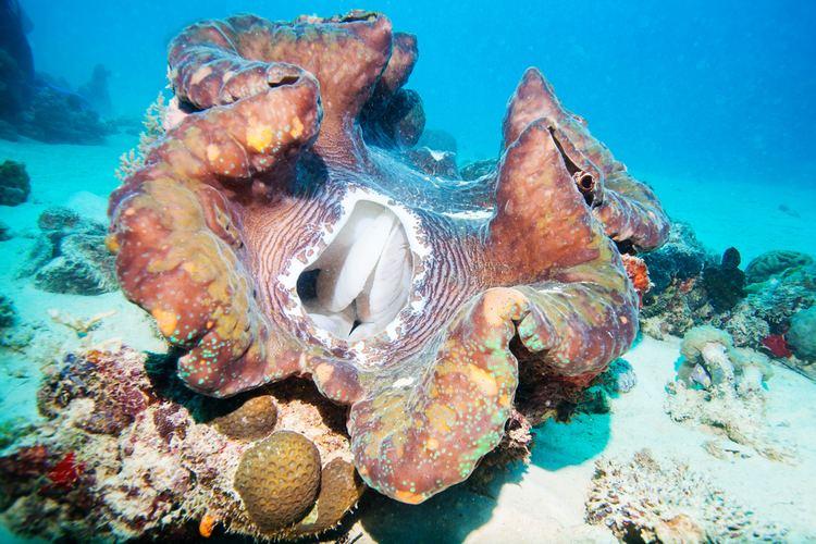 Giant Clam Alchetron The Free Social Encyclopedia