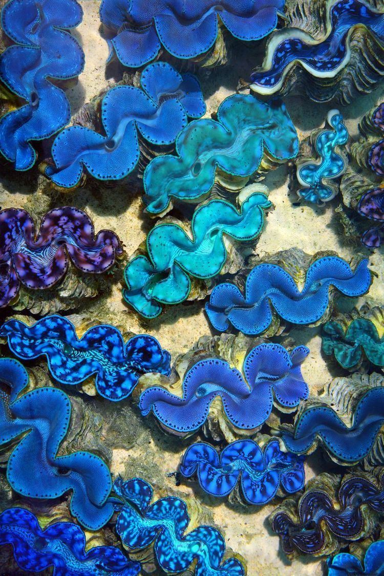 Giant clam - Alchetron, The Free Social Encyclopedia