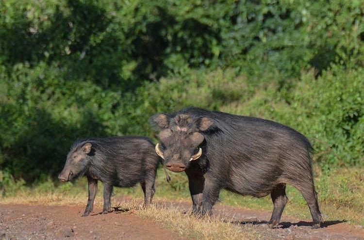 Giant forest hog - Alchetron, The Free Social Encyclopedia