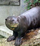 Giant otter httpsuploadwikimediaorgwikipediacommonsthu