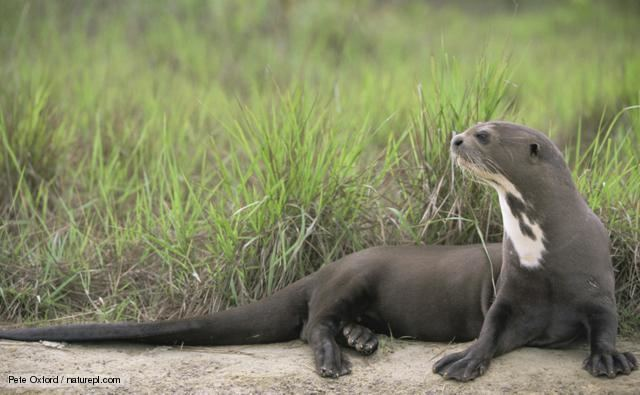 Giant otter BBC Nature Giant river otter videos news and facts