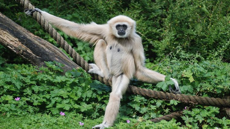 Gibbon WhiteHanded Gibbon Facts Photos National Geographic Kids