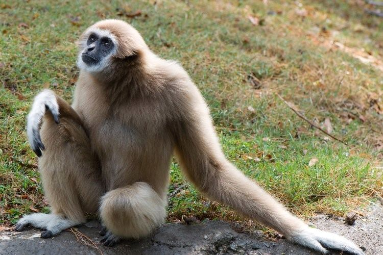 Gibbon Gibbon Facts History Useful Information and Amazing Pictures