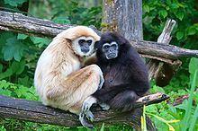 Gibbon httpsuploadwikimediaorgwikipediacommonsthu