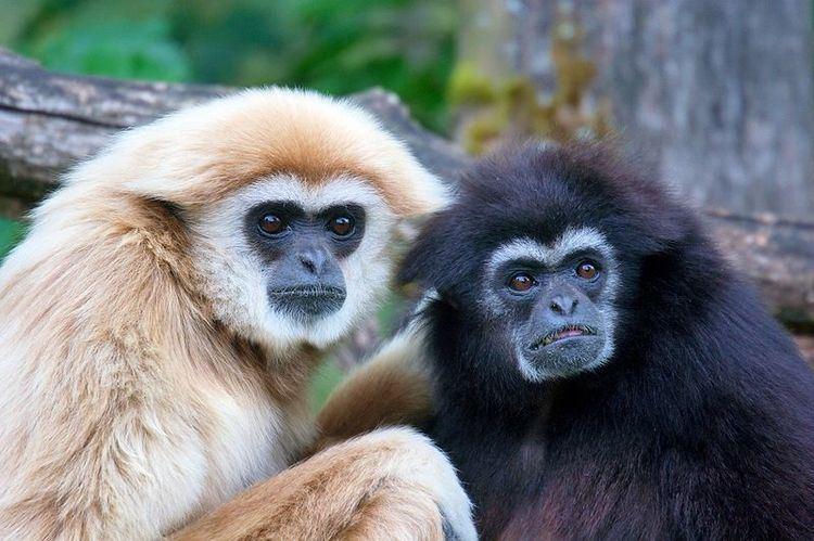 Gibbon Gibbon Hylobatidae Animals AZ Animals